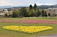 4月に開始した恋のチューリップ畑