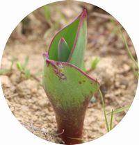 チューリップの芽のアップ