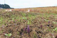 芽吹き始めたチューリップたち