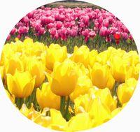黄色とピンクチューリップ円切り取り