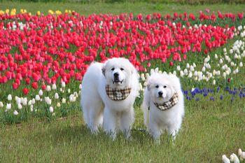 チューリップと犬