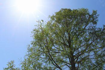 新緑の頃の「王様の木」