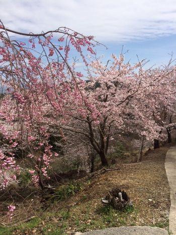 国城神社周辺の桜