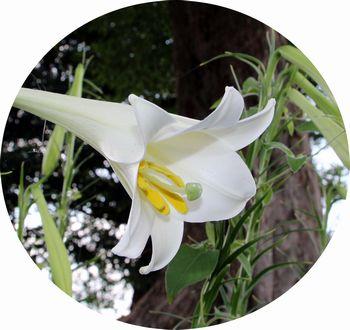 高砂ユリの花