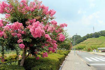 ピンクの花房が鮮やかな市民プール入り口前の百日紅