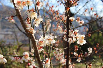 丸山公園の梅