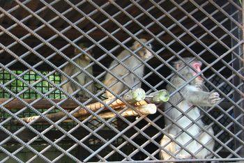 丸山公園の猿