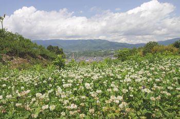 国城山 中腹のシロツメグサ
