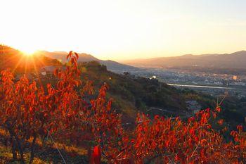 国城山中腹の色づく柿の葉に夕日が差し込んできます