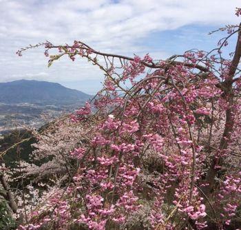 国城山頂の桜