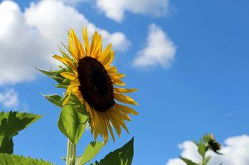 太陽に向かって元気に広がるひまわり 隅田町真土にて