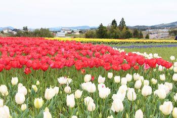 恋のチューリップ畑2020 咲いた咲いた赤白黄色