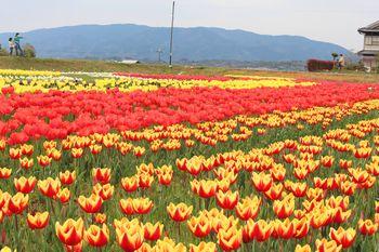 恋のチューリップ畑2020 赤黄色の2色チューリップも元気です