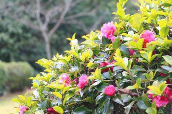 杉村公園の山茶花