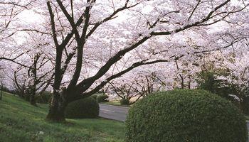 橋本カントリークラブの桜