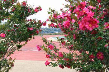 橋本運動公園の山茶花