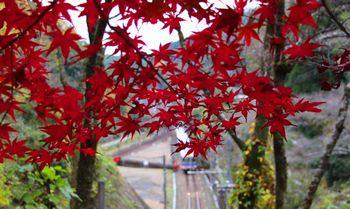紀見トンネル上の真っ赤なモミジ