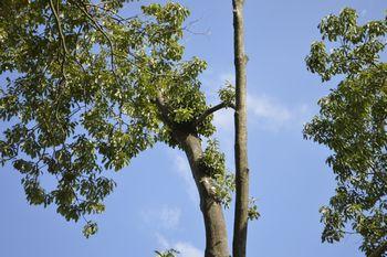 牛頭天王神社境内の連理の枝
