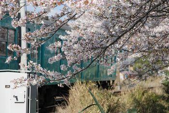 隅田町芋生付近の桜