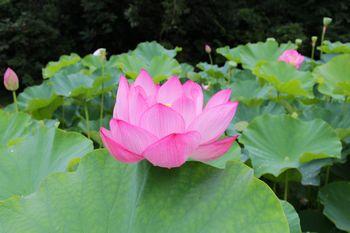 雨上がりに鮮やかに咲くハスの花