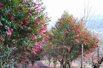 高野口公園の山茶花の並木道