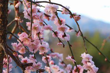 鮮やかな桃色の梅盛り 学文路天満宮にて