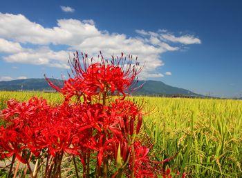 黄金色の稲穂をバックに赤い彼岸花